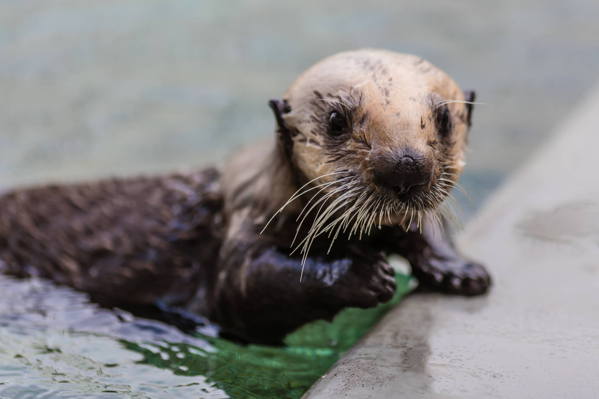 Langly,  a  female  southern  sea  otter  pup,  steps  out  of  her  pool  while  in  rehabilitation  at  The  Marine  Mammal  Center.    Bill  Hunnewell  ©The  Marine  Mammal  Center_USFWS  permit  MA101713-1
