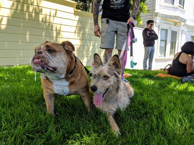 Bruno and three-legged pup Olive. Olive got hit by a car and was adopted the day after her surgery. 'I got her as a companion for Bruno, but he doesn't seem to care,' says owner Joey Romano from Martinez.