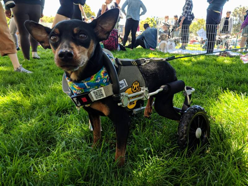 Scooter is a Miniature Pinscher who has no movement in his back legs. He's up for adoption through Nobody's Perfekt Dogs, a special needs adoption center in the East Bay.