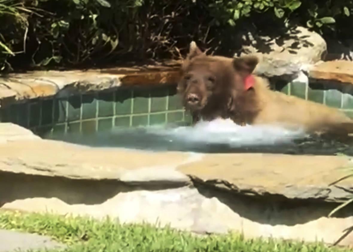 Bear Takes Swim, Knocks Over Margarita in Altadena Backyard