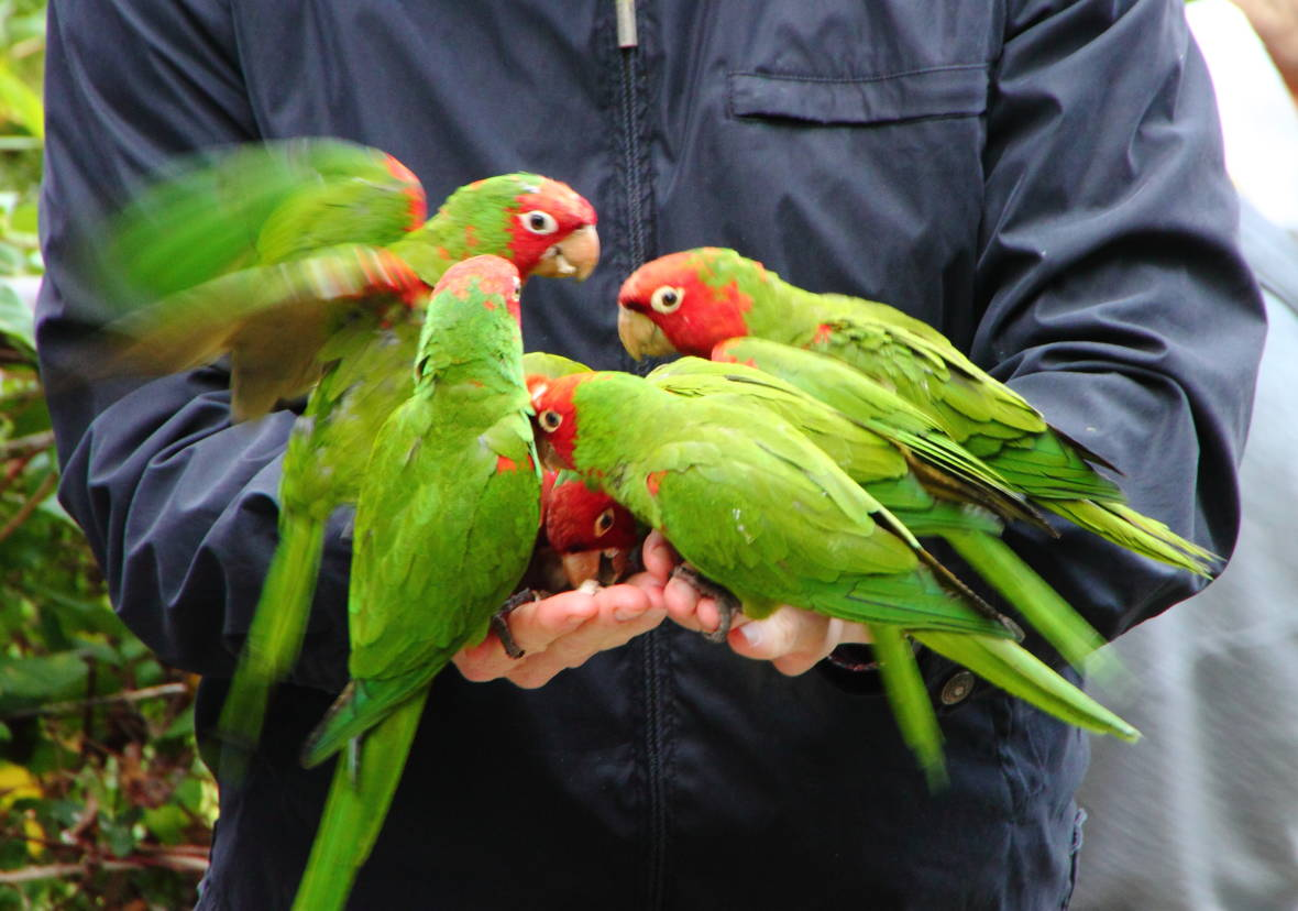 San Francisco's Wild Parrots Branching Out Across City