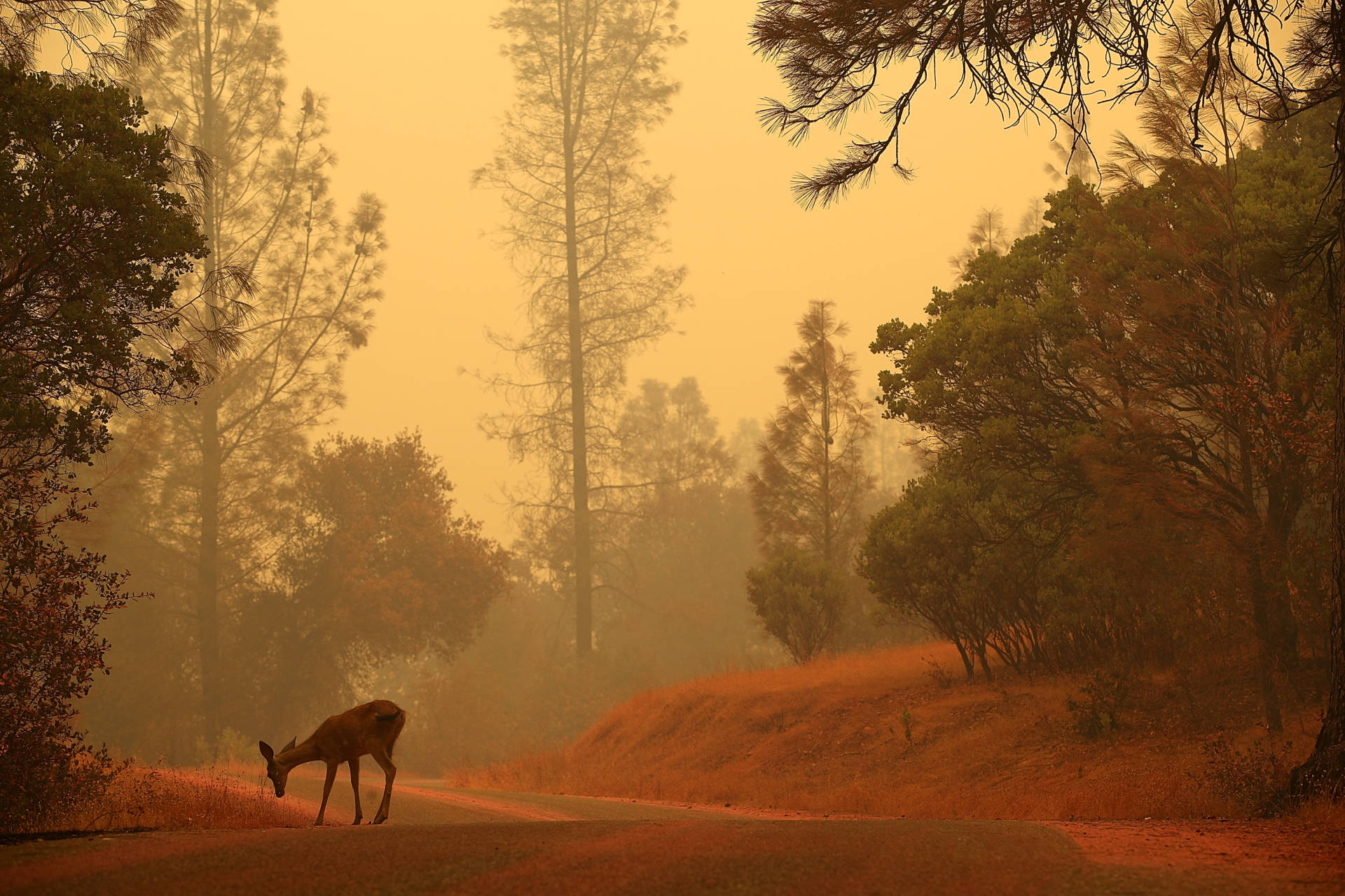 A deer stands on a road covered with fire retardant as the Carr Fire burns in the area on July 28, 2018, near Redding. Justin Sullivan/Getty Images