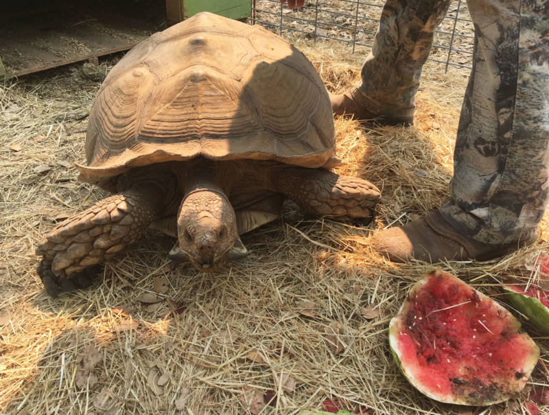 Shelly, aka 'Little Man,' about to chomp down on a special treat of watermelon at Ken and Kate Hoffman's sanctuary, Tortoise Acres.