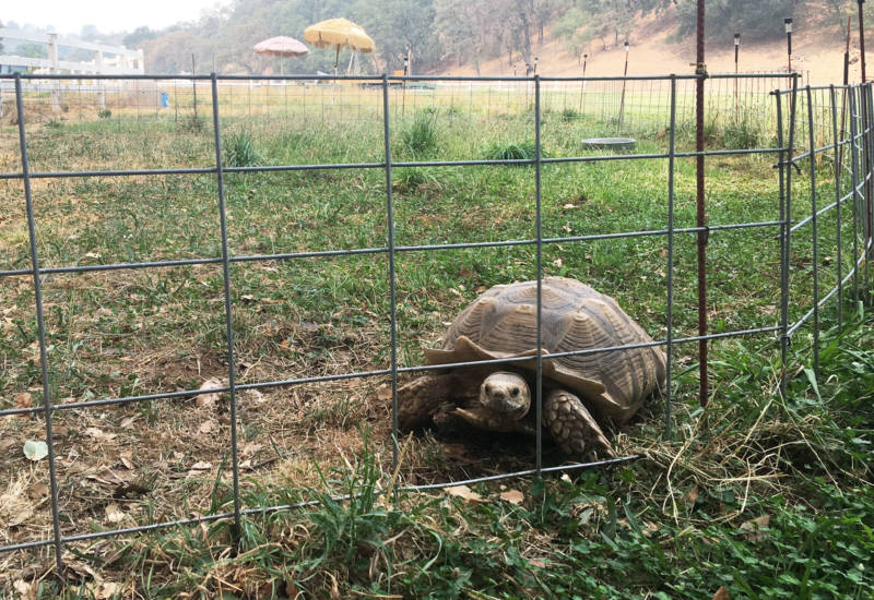 One of over 80 tortoises Ken and Kate Hoffman have rescued from across the United States.