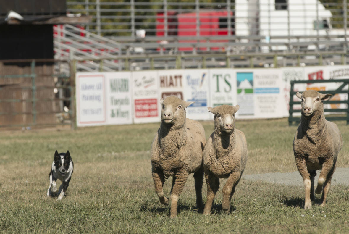 Forget Football — It's Sheepdog Trial Season in Northern California