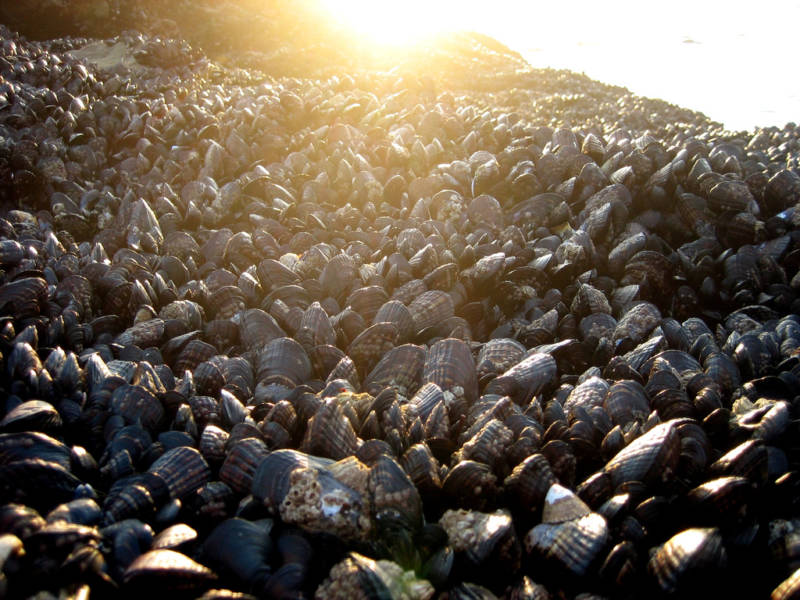 Mussel (like those pictured here), clam and oyster shells give shellmounds their name.