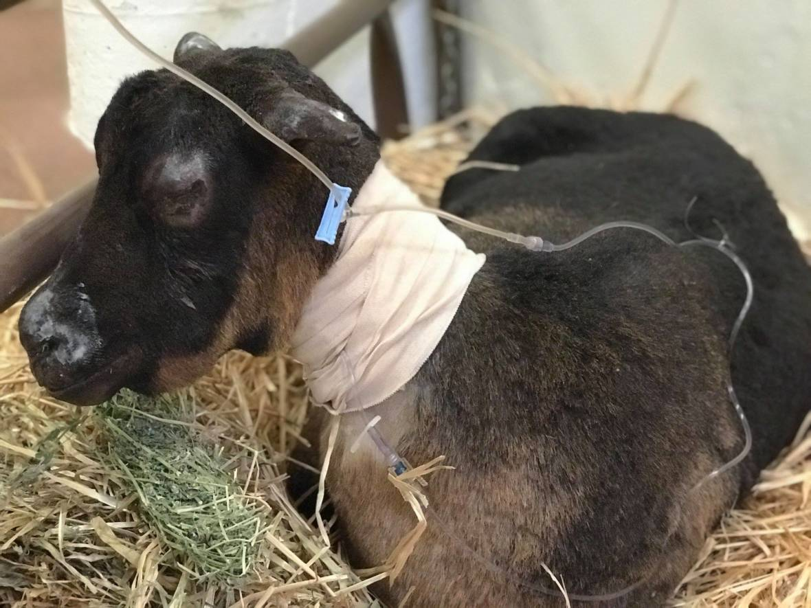 From Goats To Goldfish Vets Treat Animals Hurt In Camp
