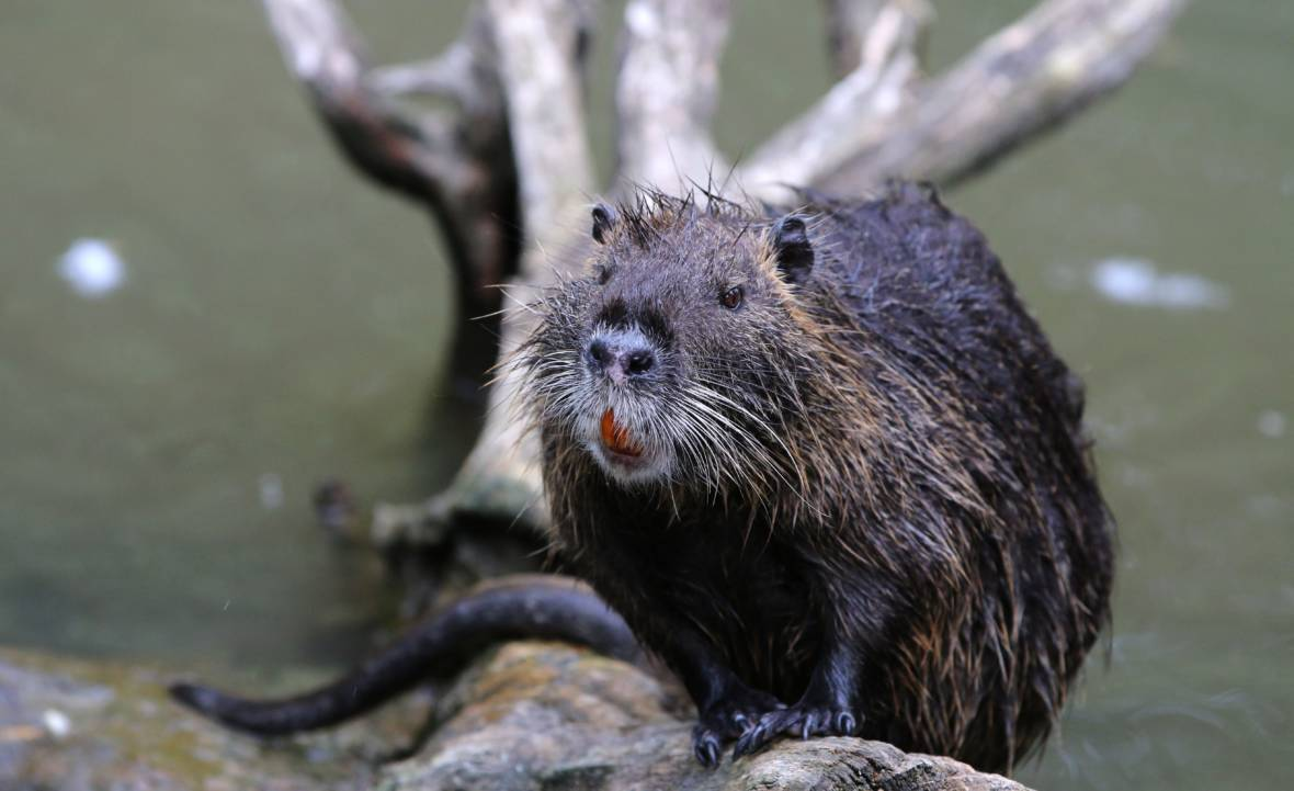 These Invasive 20-Pound Rodents Could Wreak Havoc on California Agriculture