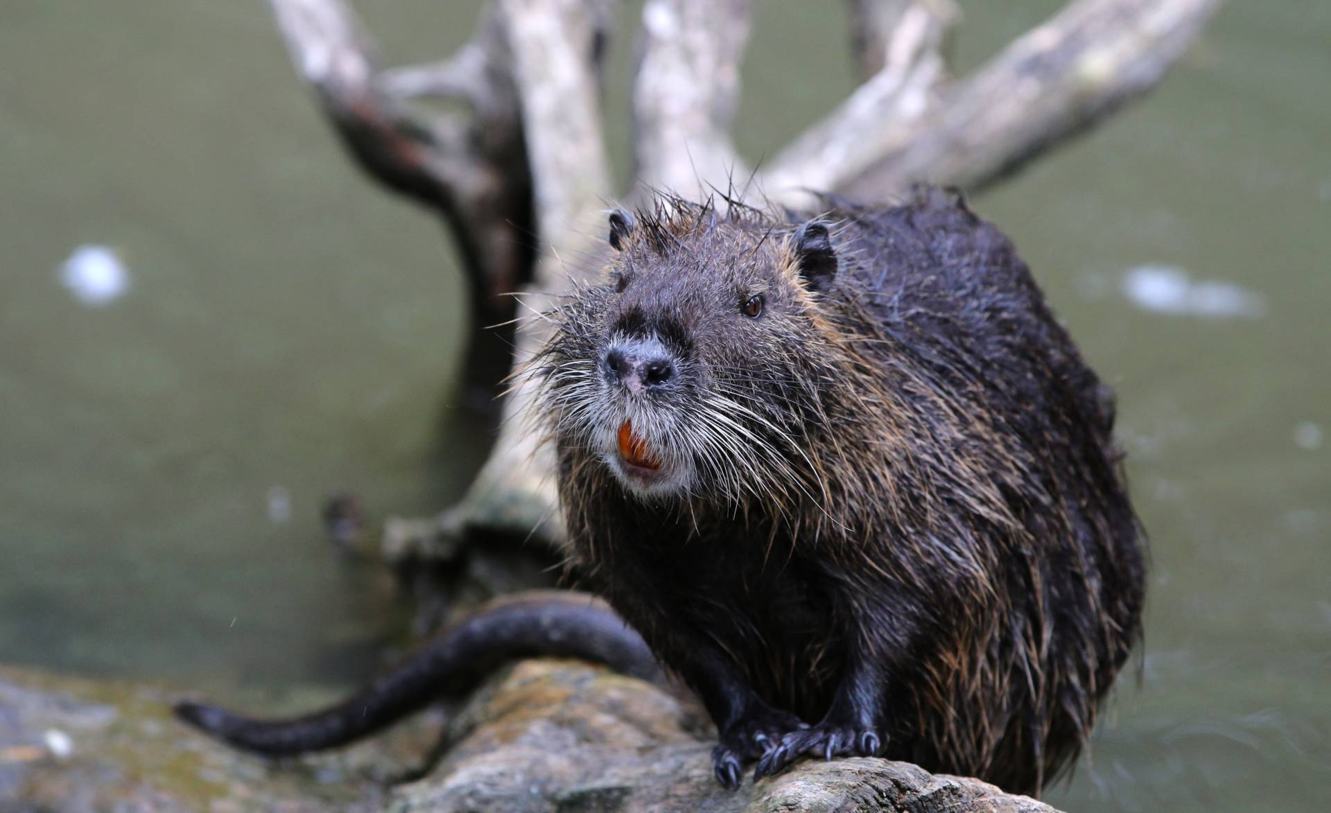 A nutria sits on a log on June 9, 2018. Although California's Department of Food and Agriculture eradicated them in the 1970s, a few nutria were spotted in Merced County last year. Yann Schreiber/AFP/Getty Image