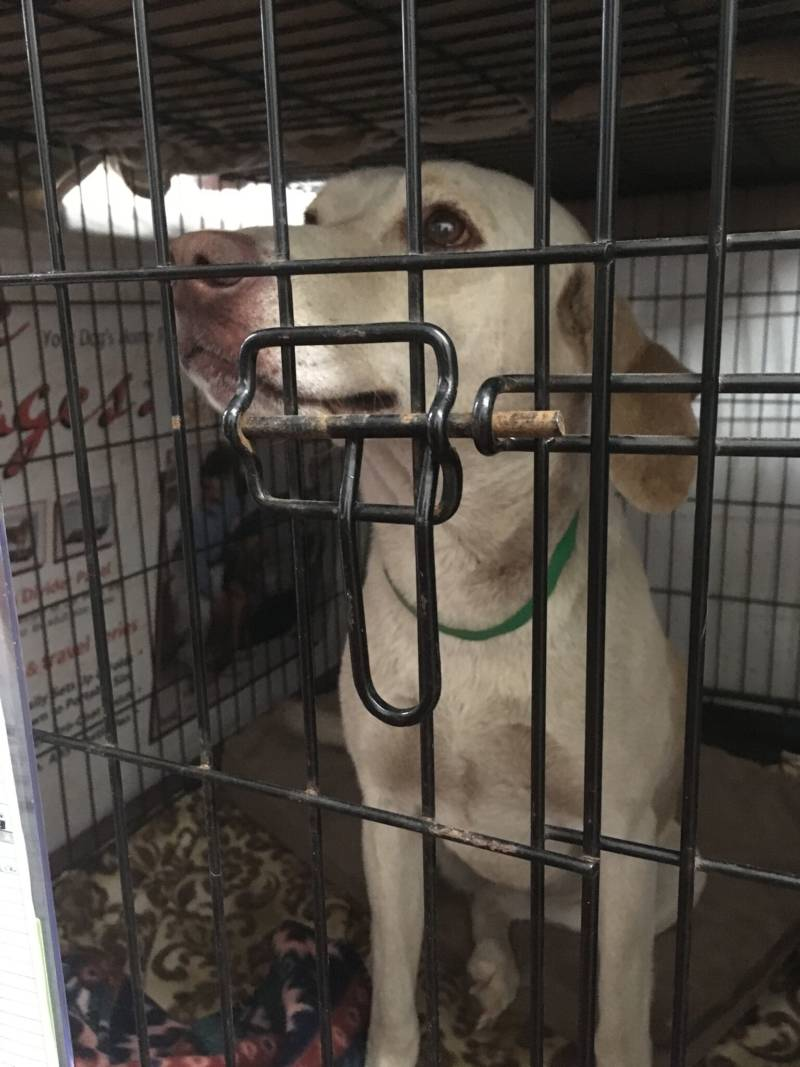 A yellow lab, but not Dini. (KQED/Myrow)