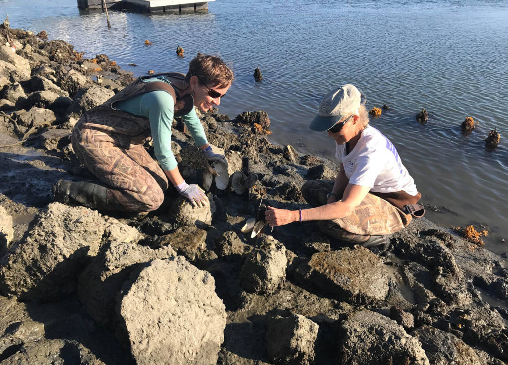Can Scientists Save California's Only Native Oysters? New Technique Shows Promise
