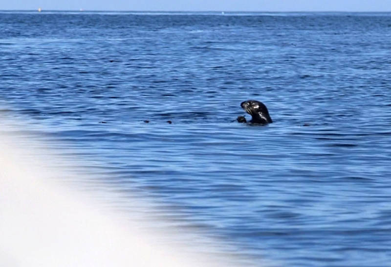 Two young sea otters, Langly and Sprout, were released into the wild this week after being rehabilitated by The Marine Mammal Center and Monterey Bay Aquarium.