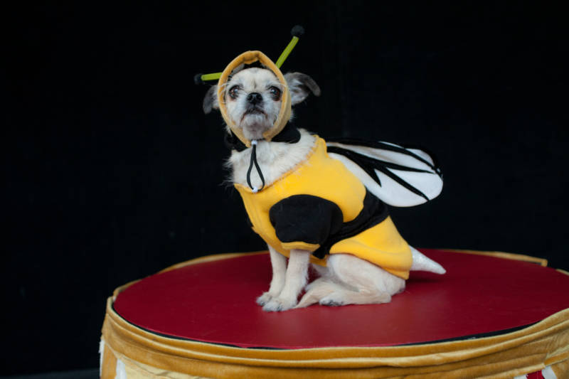 Isabella Rossellini's dog Pan in a bee costume.