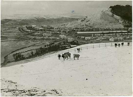 Cows in the snow on Twin Peaks, houses in background.