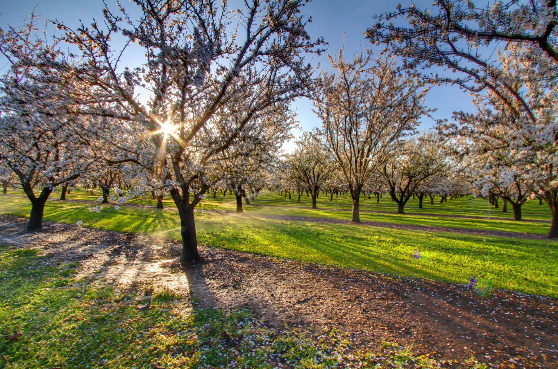 "An almond orchard in the Sacramento Valley, near Chico. <a href=""https://flic.kr/p/bAteuc"" target=""_blank"">Nicholas D. via Flickr</a>"