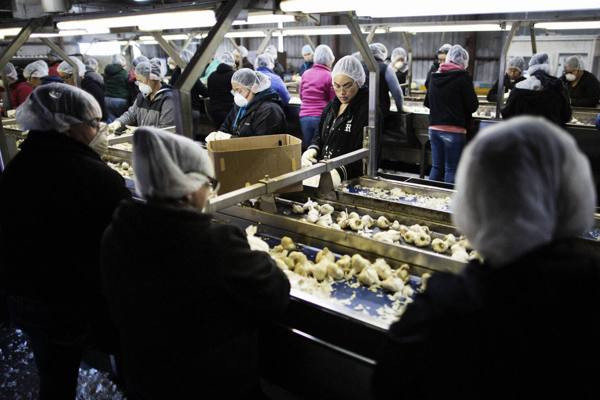Workers pull out cosmetically defective garlic (that will be processed separately) at the Christopher Ranch processing plant in Gilroy, Calif. About 6 percent of its garlic is bought from China; the rest is homegrown. Talia Herman/NPR