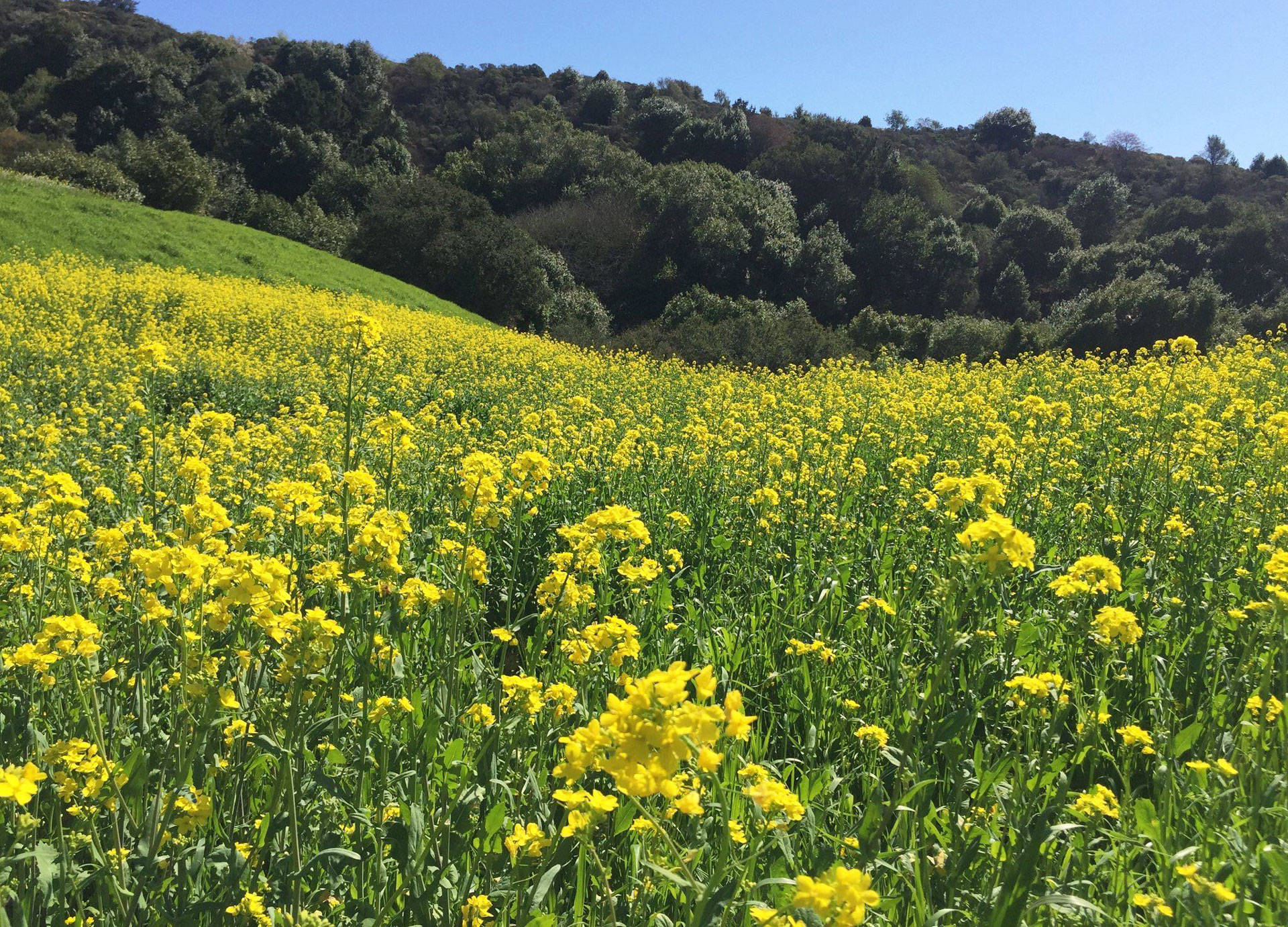 Wild mustard blanketing the Berkeley Hills.  Liam O'Donoghue via Twitter
