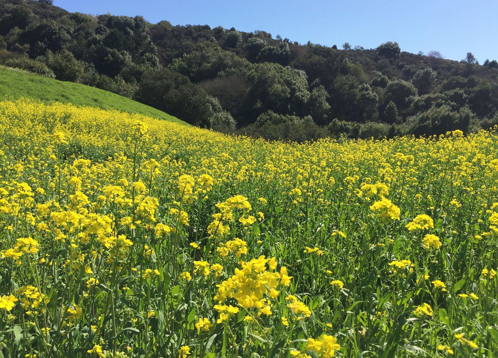 Where To See A Super Bloom In The Bay Area Kqed