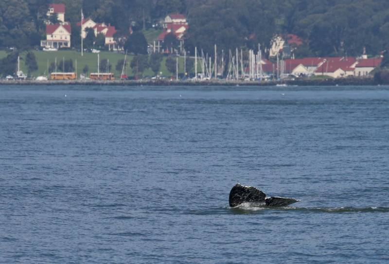There Are a Lot of Gray Whales in the Bay, and That Has Experts Worried