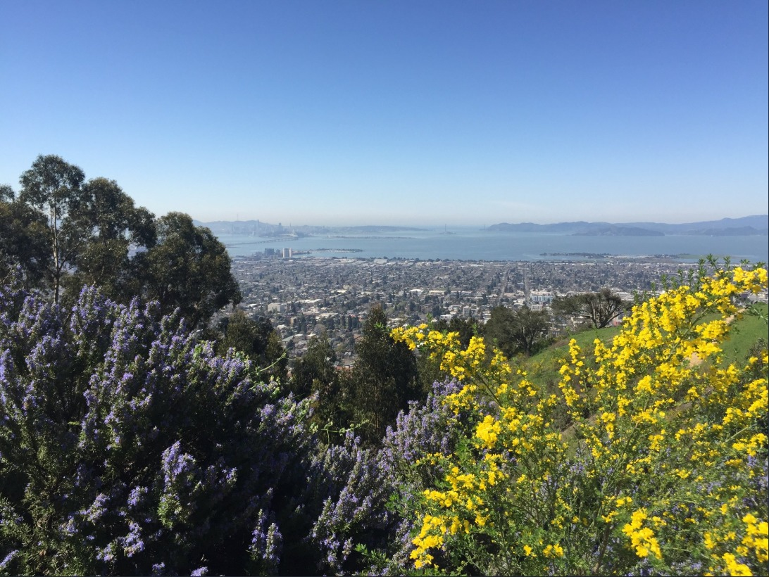 Rosemary and French Broom -- both invasive species -- in the Berkeley Hills