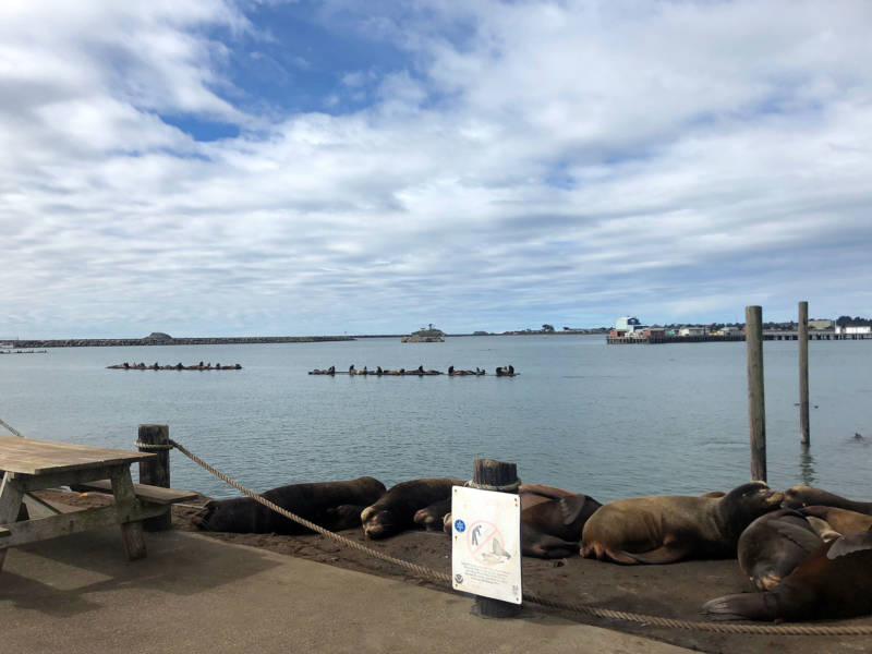 Sea lions crowd the docks at Crescent City. Warming waters have also impacted them, reducing their food source and exposing them to dangerous levels of domoic acid, a neurotoxin.