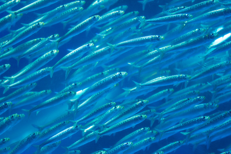 Officials: No Sardine Fishing Off California This Year Due to Steep Population Decline