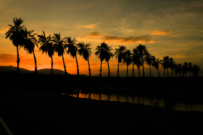 Palm trees in the Eastern Coachella Valley.