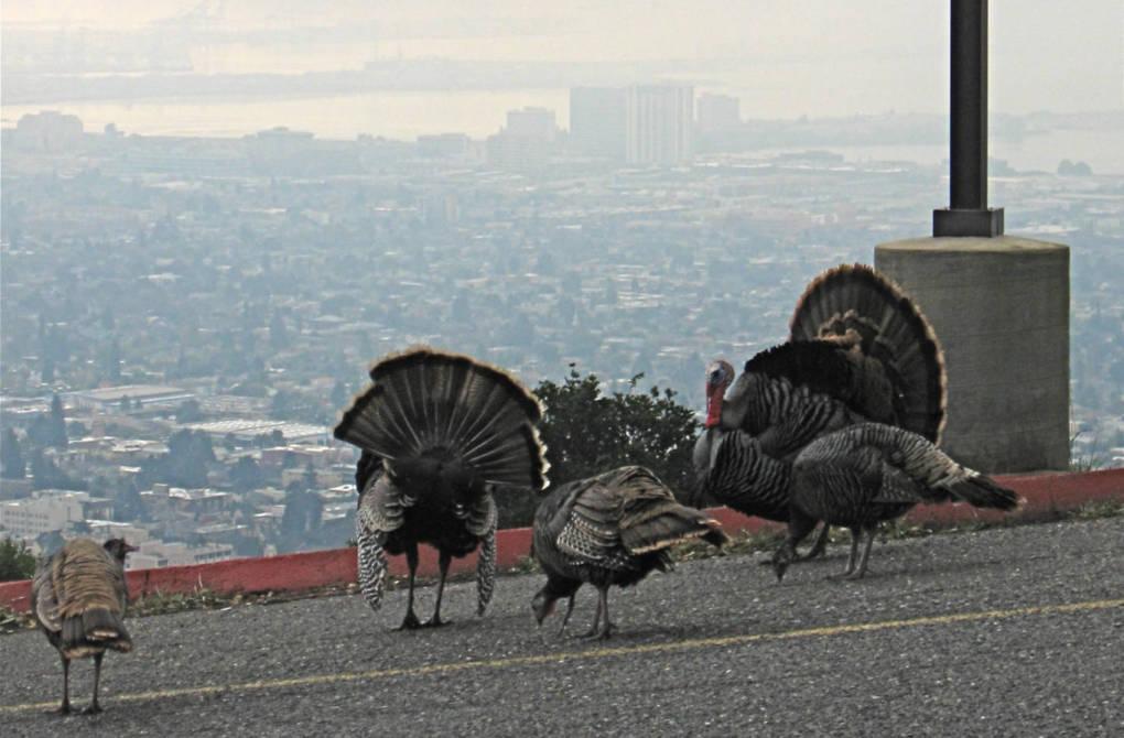 Wild Turkeys: Strutting Around Your Suburbs, But Why?