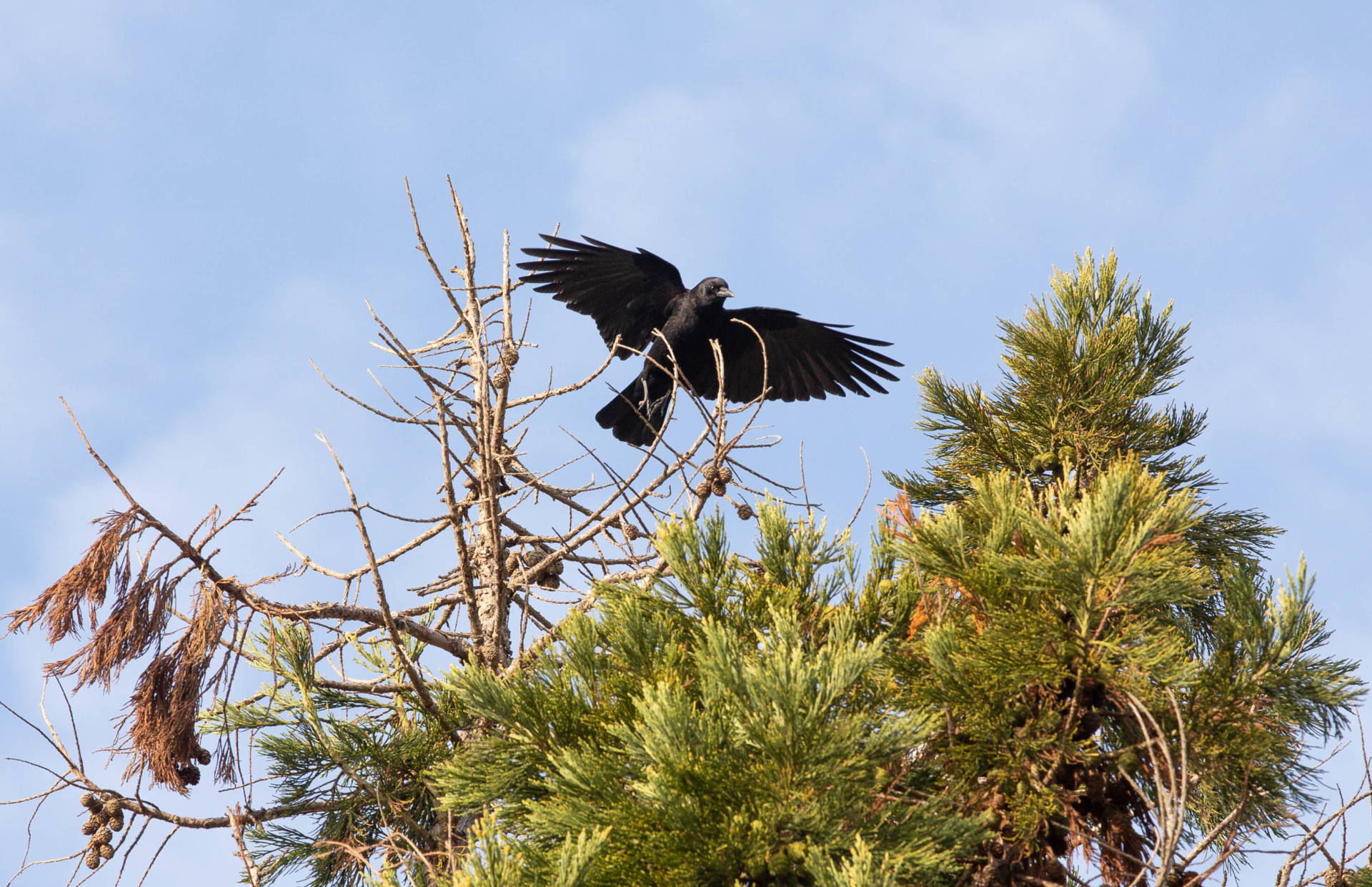 Corvus brachyrhynchos, better known as the common crow, as pictured in a Berkeley backyard.  Dan Brekke/KQED