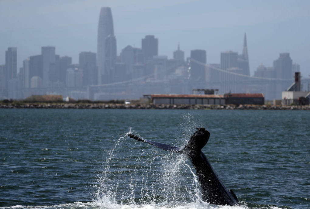 Long Lingering Humpback Whale Bids Farewell to Alameda