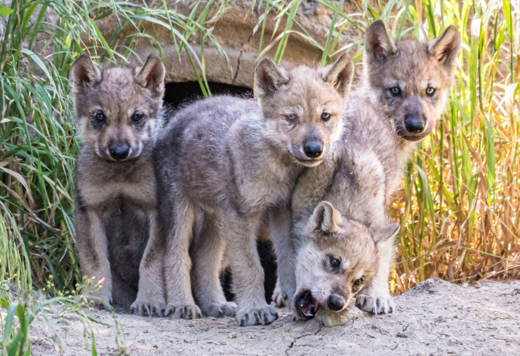 Wolf Pups Emerge From Den at Oakland Zoo to Begin Goodwill Mission