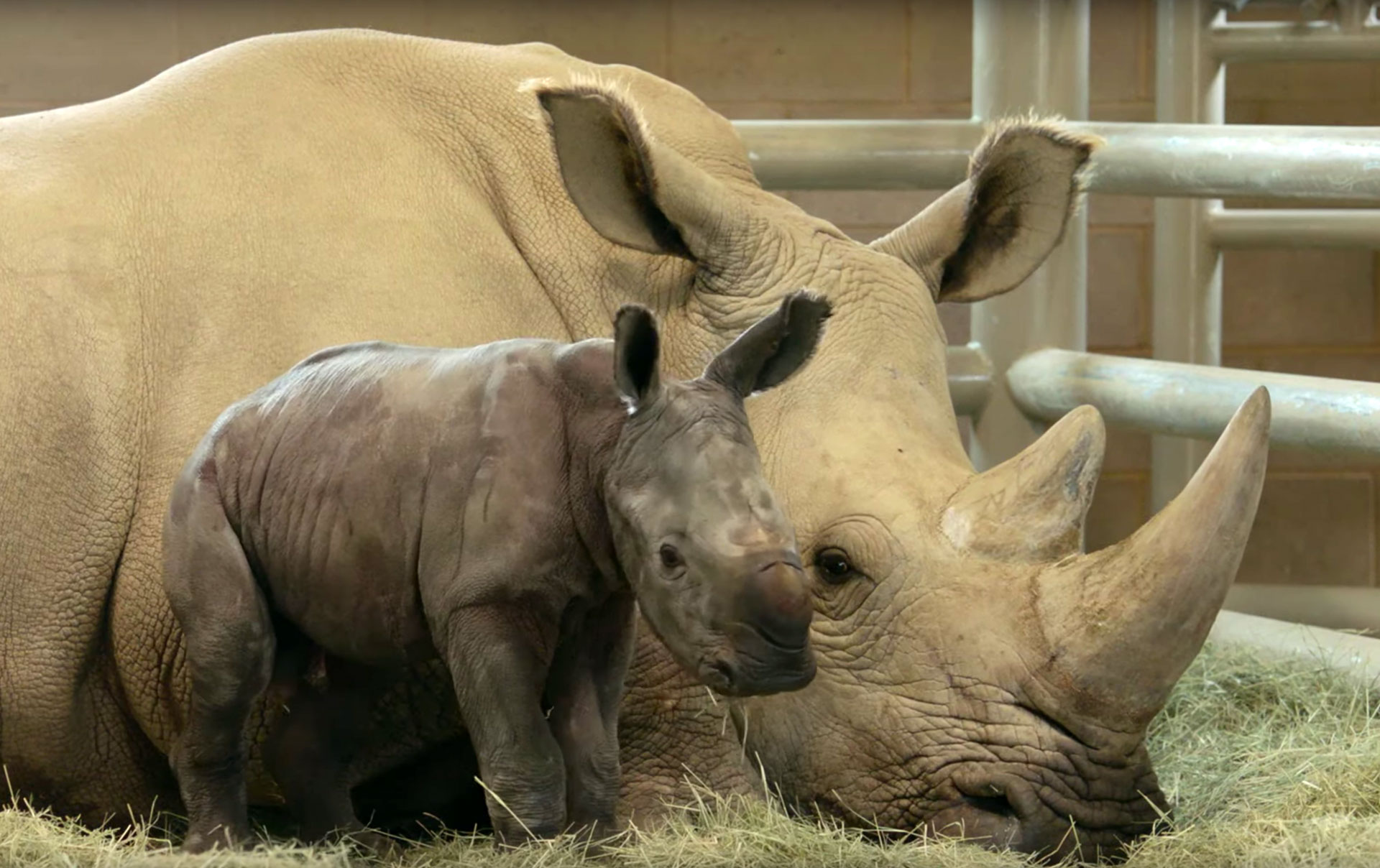 It S A Boy San Diego Zoo Announces Historic Birth Of Baby