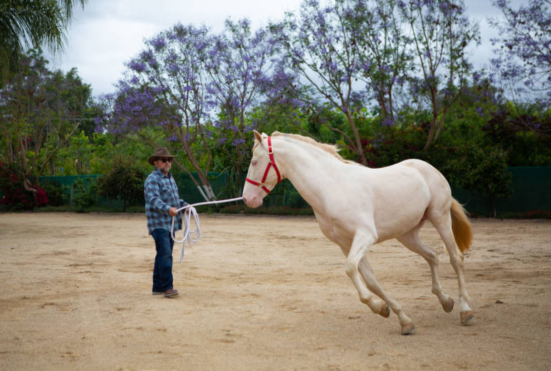 Juan Rivera with one of their horses, photographed on May 26, 2019 in Chino.