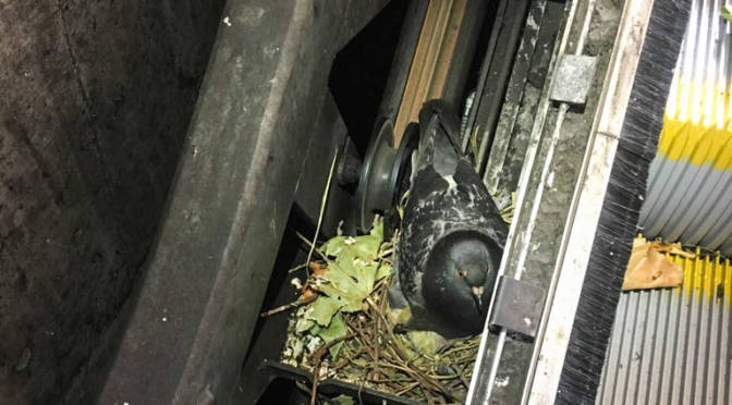 BART: Nesting Pigeons Got in the Way of S.F. Escalator Repair Project