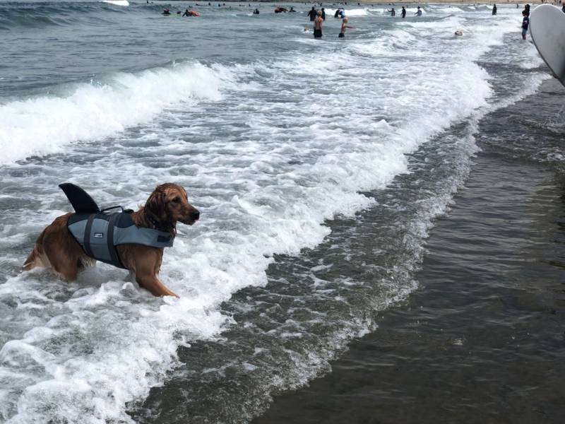 Murphy, a one year old dog who didn't surf in the competition, plays in the water for the first time in his life. His owner, Vickie Nguyen, bought the shark outfit online and it arrived yesterday. Just in time for the event.