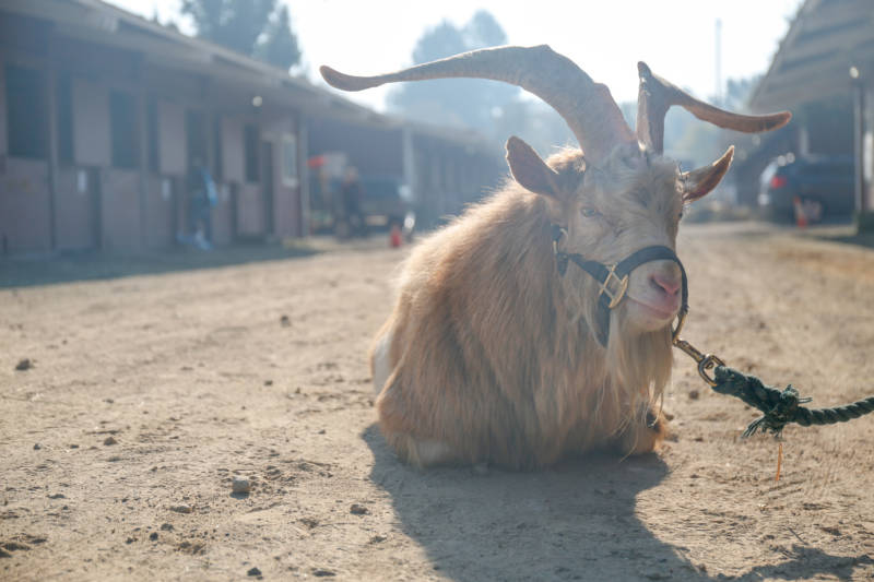 This British Guernsey goat belonging to farm owners Catherine and Brian Shapiro was among many large animals evacuated during the Kincade Fire to the Sonoma County Fairgrounds on Oct. 27, 2019.