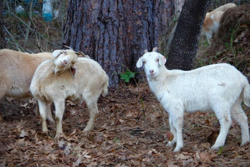 """Nevada City's """"Goat Fund Me"""" campaign raised money for goats to graze and clear overgrown lands."""