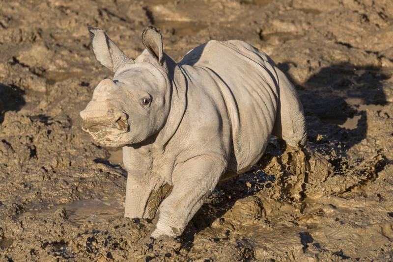 Meet 'Future,' the New Baby White Rhino at the San Diego Zoo