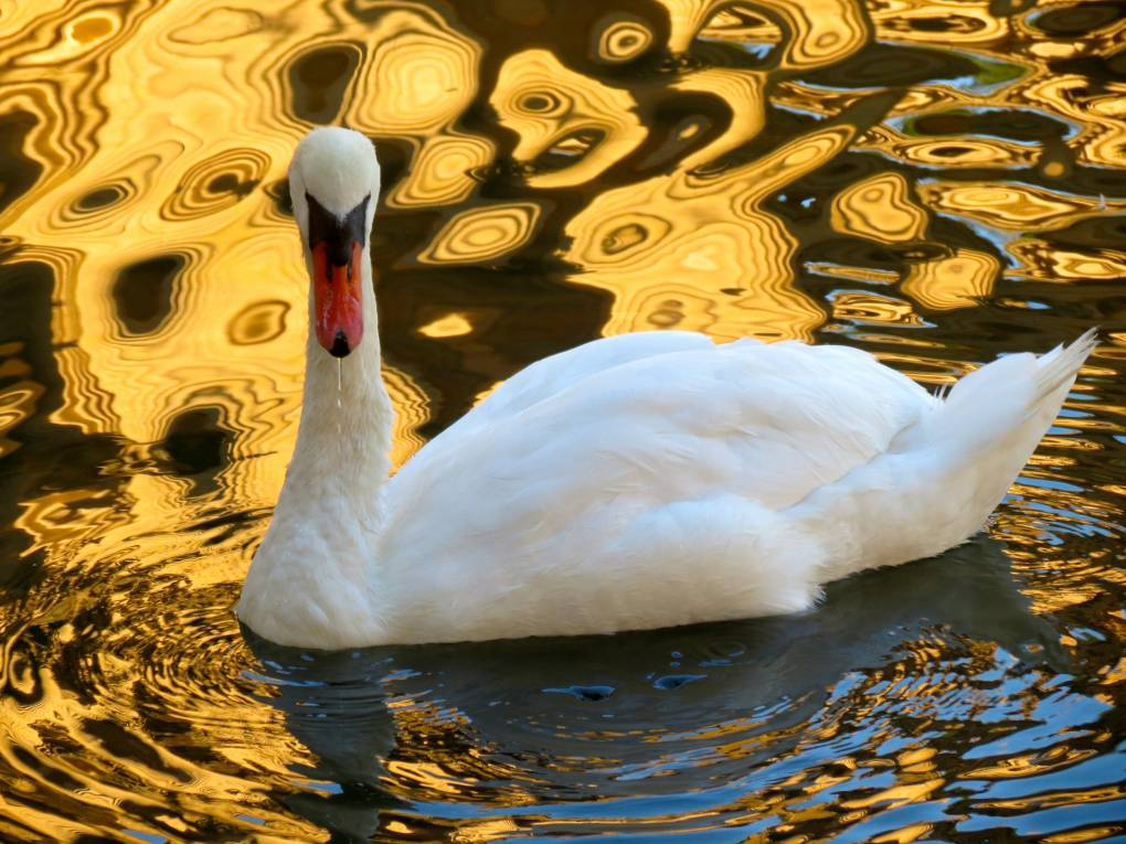 Swan at the Palace of Fine Arts