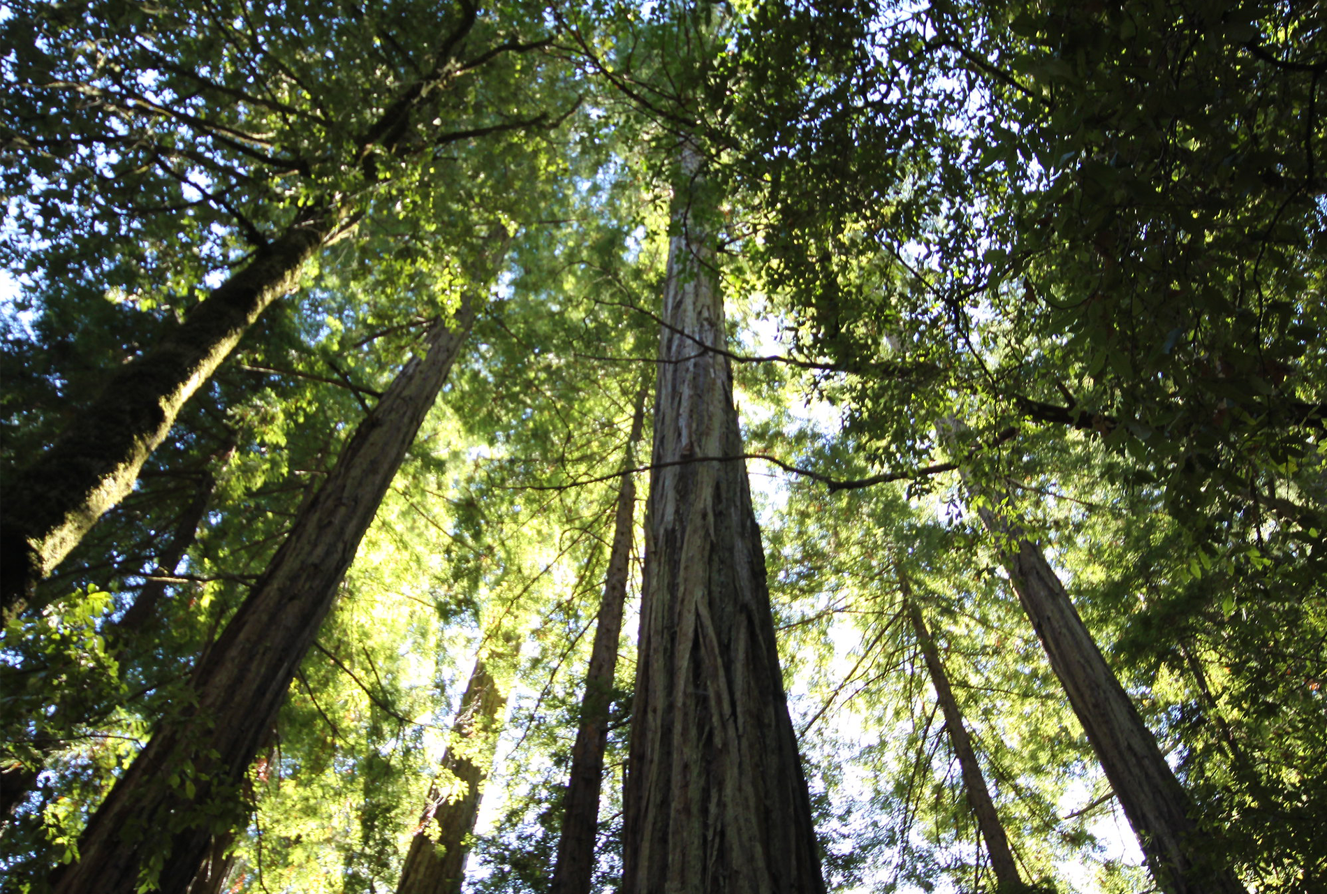 Redwoods tower over Big Basin State Park before the CZU fire complex ravaged much of the area beginning last week. Many of the park's massive, old-growth redwoods have reportedly survived the worst of the damage.