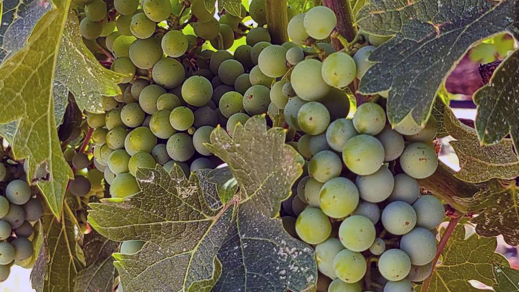 Bunch of green wine grapes.