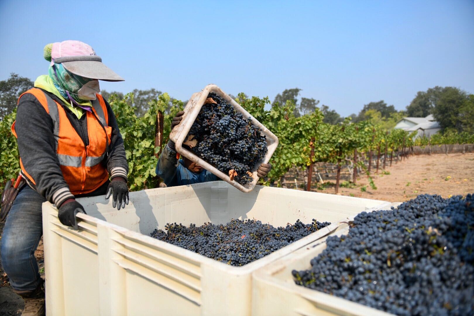 Workers harvest grapes at Garton Vineyards in Napa on Sept. 30, 2020.