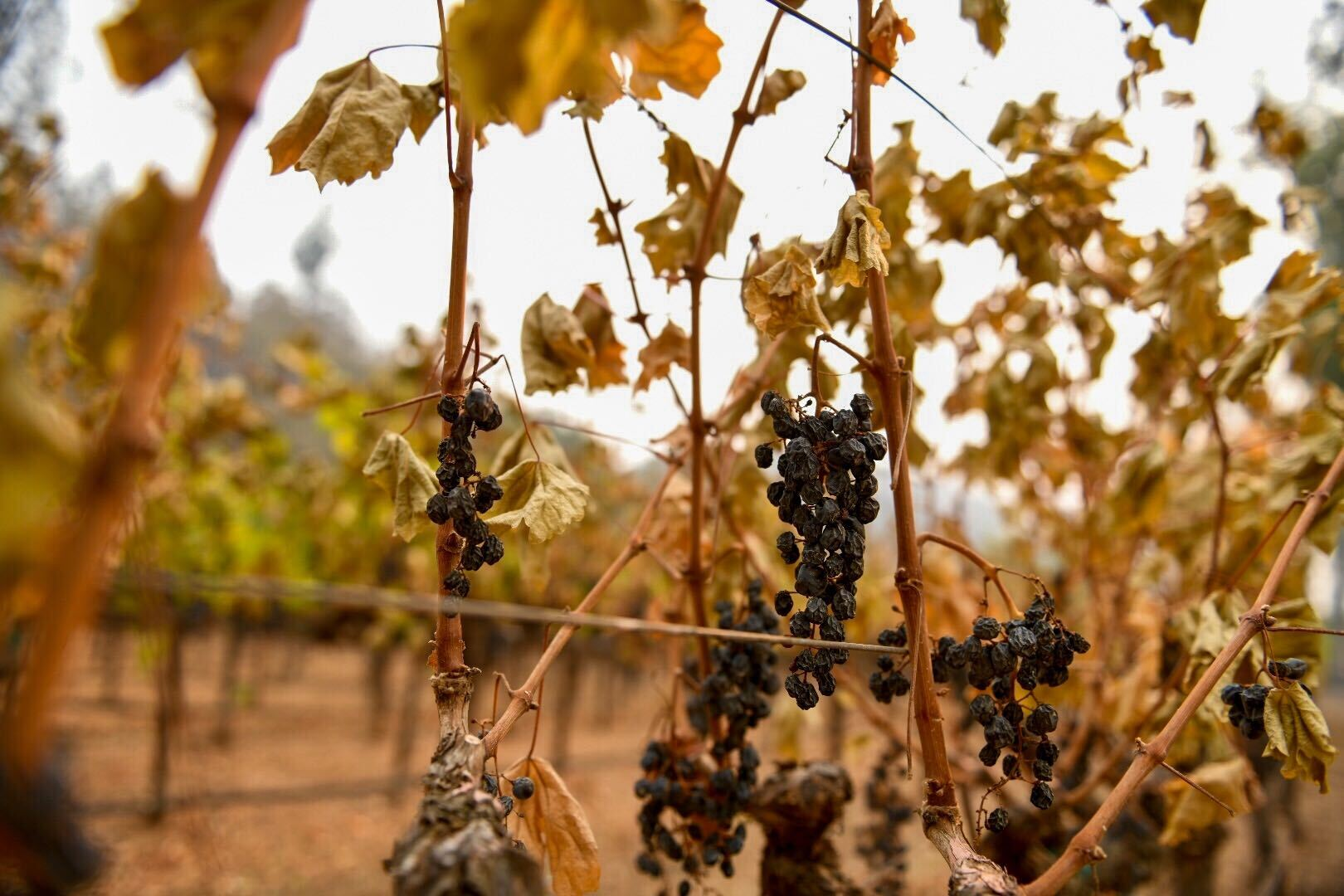 Grapes wither on the vine as smoke from the Glass Fire fills the sky at a vineyard near Calistoga on Sept. 30.