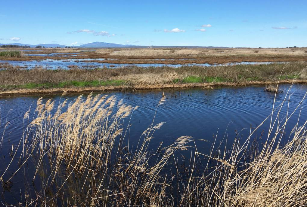 grasses blow in the breeze above marsh waters at Suisun Marsh on a clear day