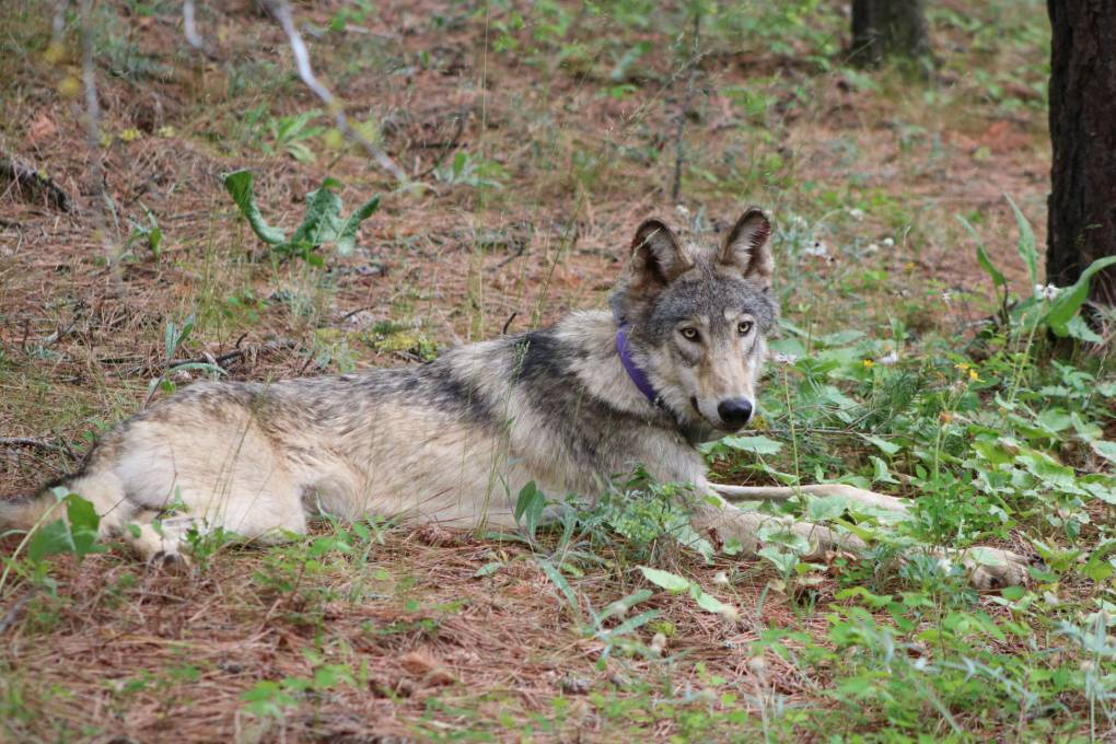 Gray wolf or-93 laying in the woods