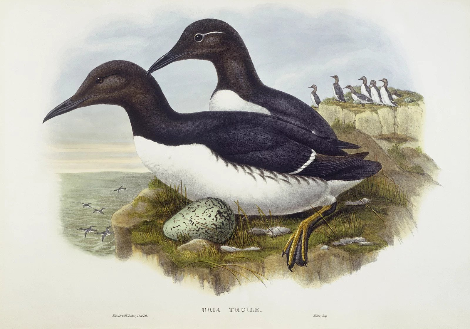 The common murre (Uria aalge), which was a source of eggs for San Francisco's egg rush. Engraving by John Gould, William Hart, H. C. Richter.