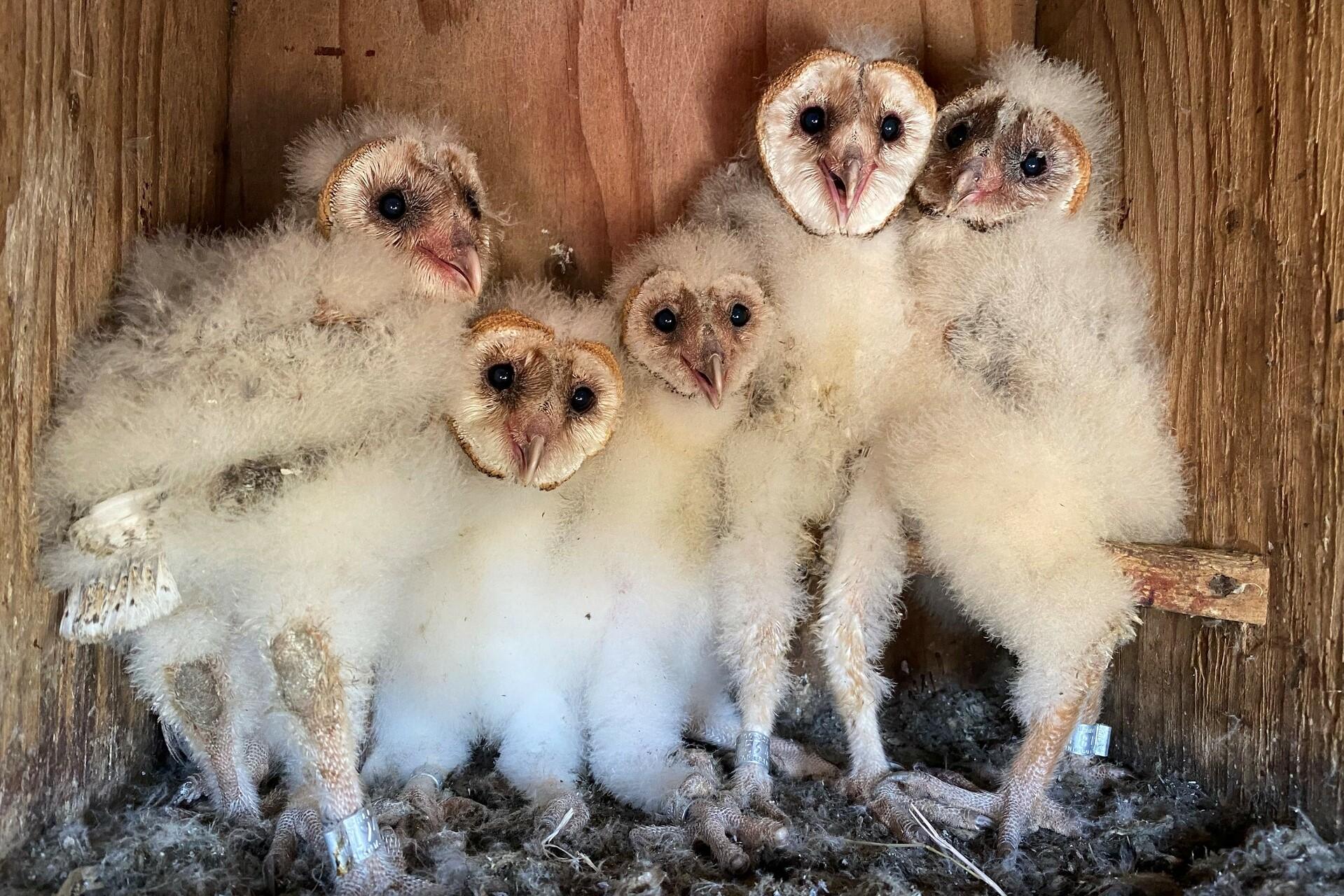 A group of infant owls gather inside a birdbox.