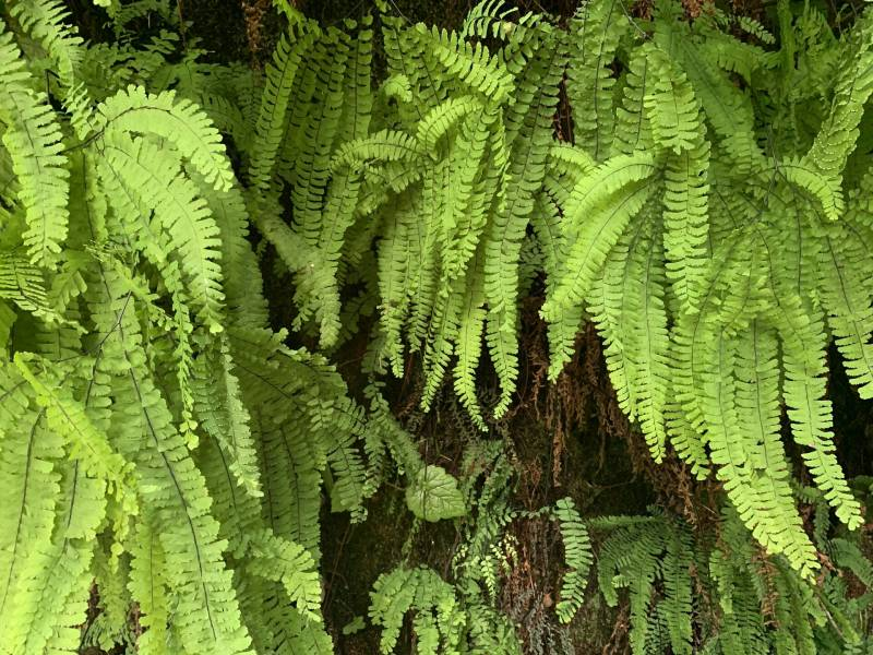 Close-up of bright green fern fronds.