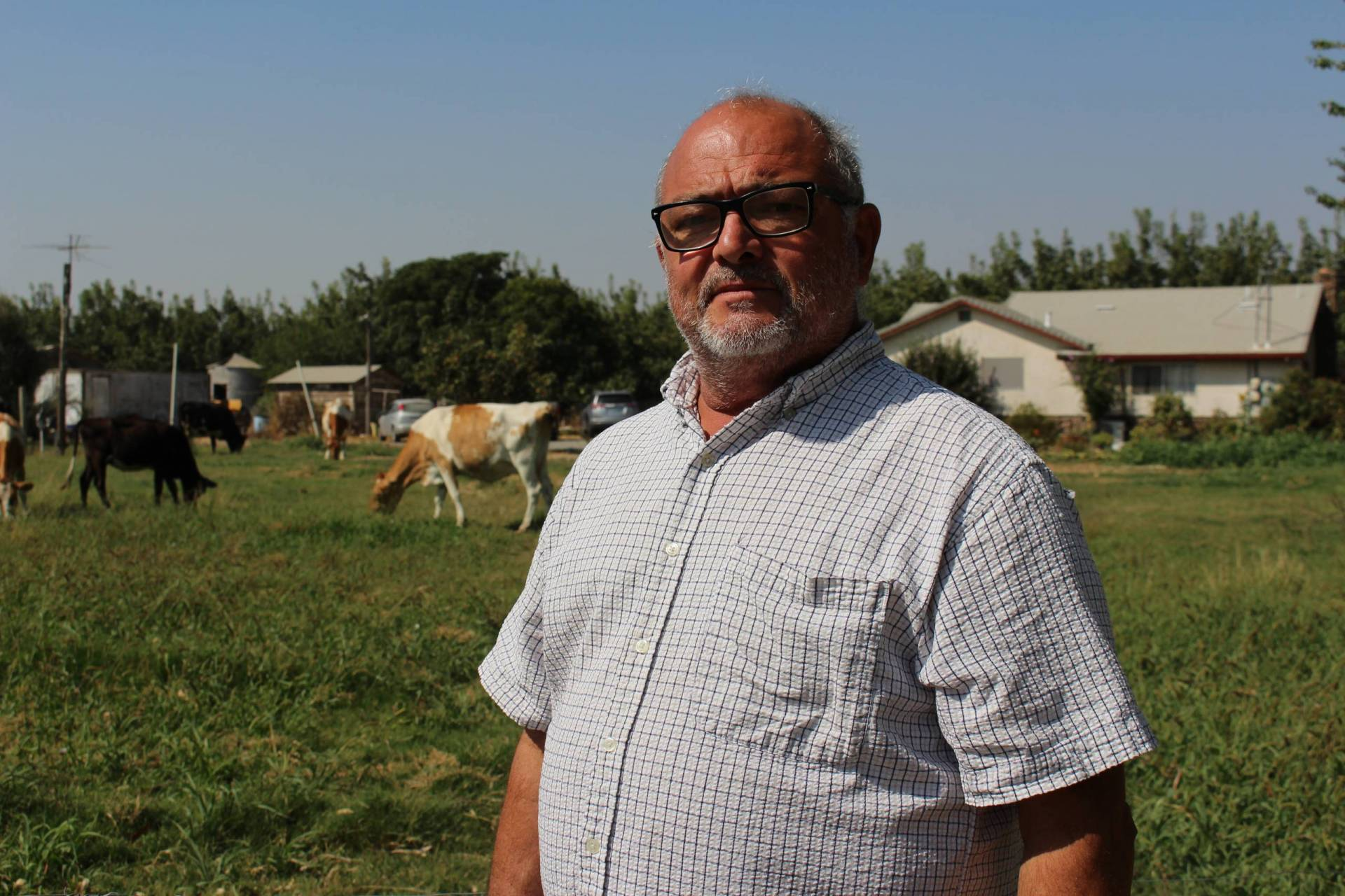 A man stands on a field with cows.