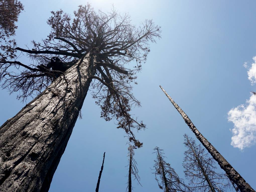 Charred dead giant sequoia trees